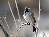pic of anza  - A Black-throated Sparrow perched on a branch