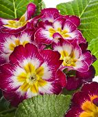 blooming primrose primula polyanthus close up macro