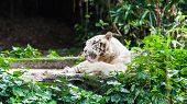 White Bengal Tiger