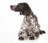 german shorthaired pointer female laying down