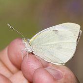 Large White ,  Pieris Brassicae
