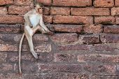 stock photo of macaque  - The macaque is a genus of the family of the Old World monkeys - JPG