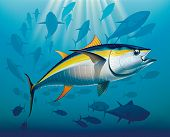 image of yellowfin tuna  - Shoal of yellowfin tuna in deep water - JPG