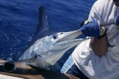 Billfish Espadim branco Catch And Release no barco