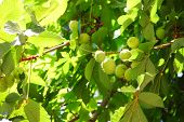 Chestnut On Tree