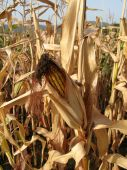 Corn Still In Field