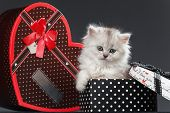 White Persian pussy cat in gift container