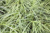 Variegated Monkey Grass Background