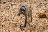 Baboon Walking Along Wet River Bed Looking For Bits To Eat In Sand