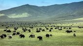 pic of yaks  - Tibetan Yaks in the grassland - JPG
