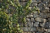 image of ivy vine  - green Ivy vine on a brickwork wall - JPG
