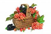 picture of chokeberry  - basket with berries of viburnum chokeberry and wild rose closeup on a white background - JPG