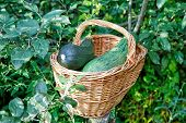Vegetable Marrows In A Wattled Basket Among Green Foliage