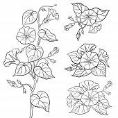 picture of ipomoea  - Flowers ipomoea with leaves - JPG