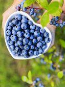 Blueberries - female hands holding ripe blueberries in bowl