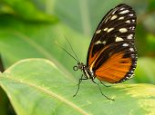 Black And Orange Butterfly Standing On Leaf