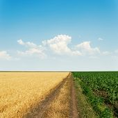 dirty road in agricultural fields and sky with clouds