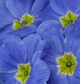blue viola 2778
