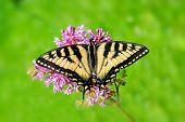 Eastern Tiger Swallowtail - Full Wingspan Top