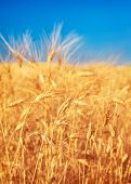 Wheat field landscape, closeup on a rye over blue sky, agriculture industry, beauty of nature at aut