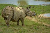 Grey Rhinoceros Without Hornes