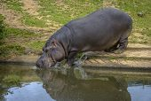 Hippopotamus Entering The Water