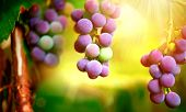 Bunch of grapes on grapevine growing in vineyard. Purple red grapes with green leaves on the vine. Soft focus