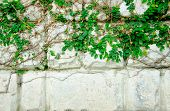 stock photo of creeper  - The Green Creeper Plant on Wall - JPG