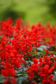 Red Salvia (Salvia splendens)
