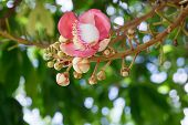stock photo of cannonball-flower  - Beautiful round white magenta color flower of Cannon Ball Tree - JPG