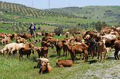 Goatherd and shepherd, Spain.