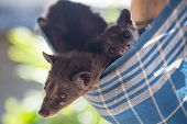 picture of excrement  - Asian Palm Civet  - JPG