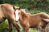 foto of mare foal  - Brown foal and mare amid green vegetation background