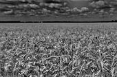 Wheat Field In Black And White