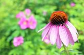image of black-eyed susans  - single pink black eyes susan flower in garden - JPG