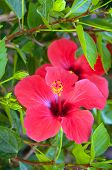 Large Red Hibiscus Flowers