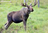 Portrait of a Moose bull