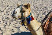 Camel On Jumeirah Beach In Duba