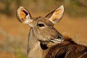 Kudu Antelope, South Africa