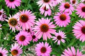 stock photo of black-eyed susans  - a Pink black eyes susan in garden - JPG