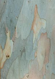 stock photo of eucalyptus trees  - Abstract background of Eucalyptus tree bark texture - JPG