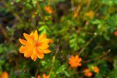 Orange Tagetes Flower (marigold)