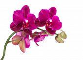 Branch Purple Orchid