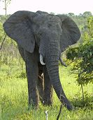 Wildlife: African Elephant