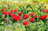 Spring Background With Poppies