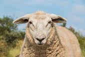 Sheep Staring Up Close View Head
