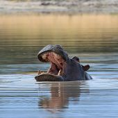 Hippo Head Above Water Africa