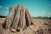 picture of cassava  - The cassava farm at the countryside of Thailand