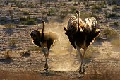 Two ostriches (Struthio camelus) walking in dust, Kalahari desert, South Africa