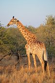 A giraffe (Giraffa camelopardalis) in natural habitat, South Africa